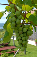 loc3115-white grapes
